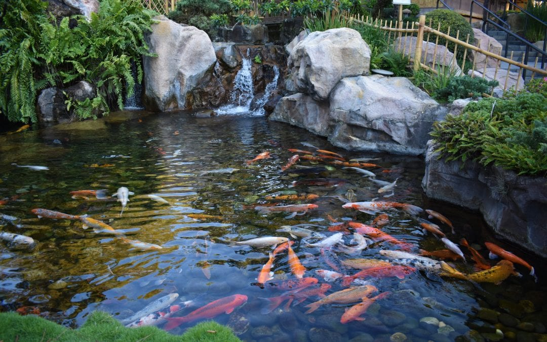 How to Maintain a Fish Pond